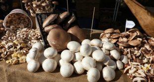 kültür mantarı nasıl yetiştirilir